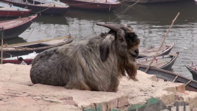 Cabra-sobre-la-costa-del-río-Ganges-en-varanasí-India