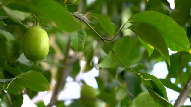 lemon-fruit-izmir-green