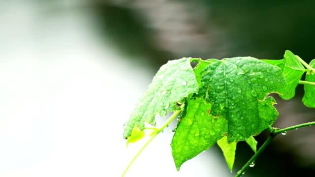 Área-de-hoja-de-un-casquillo-después-de-lluvia
