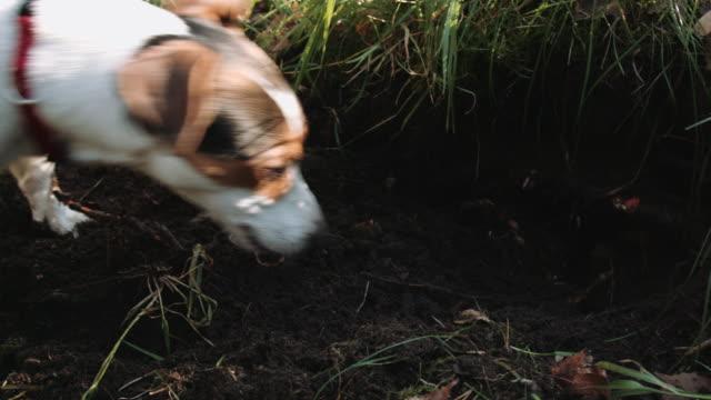 Raza-de-perro-Jack-Russell-Terrier-caminar-en-el-parque
