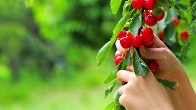 cereza-roja-recogiendo-las-ramas-de-cerezo