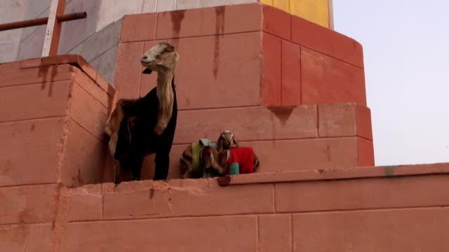 Cabra-con-dos-goatling-en-pared-en-varanasí-India