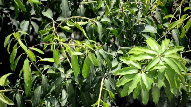 Mango-tree-Leafs-swinging-in-the-wind
