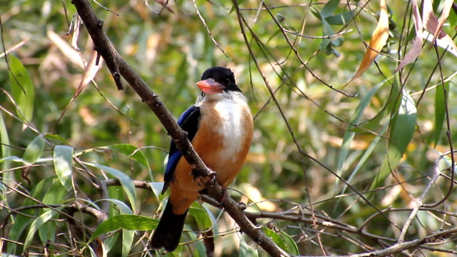 Negro-tapa-Kingfisher-(Halcyon-pileata)-en-la-naturaleza-