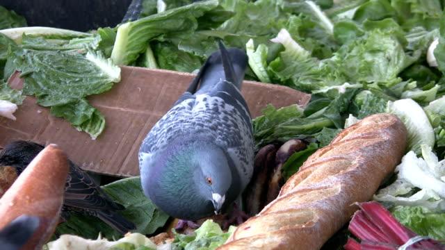 Pigeon-Essen-