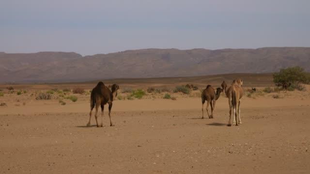 Grupo-de-camellos-en-el-desierto-del-Sahara