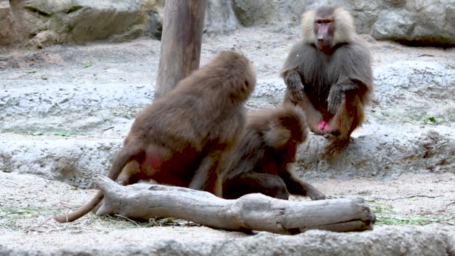 Baboons-playing-and-fighting-with-each-other