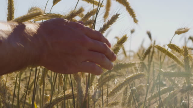 Granjero-tocar-hermoso-campo-de-trigo-con-cielo-azul-y-sol-épico-luz---tiro-en-rojo