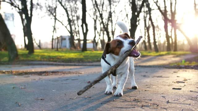 Perro-terrier-de-Jack-Russell-con-un-palo-en-el-Parque