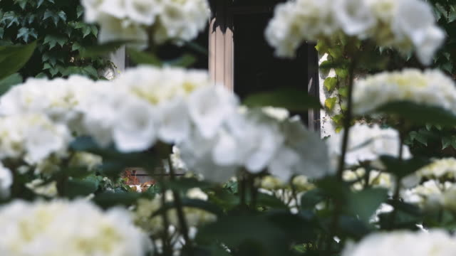 Pintoresco-jardín-blanco-flores-y-ventana-de-la-casa-rodeado-de-aferrarse-de-la-vid