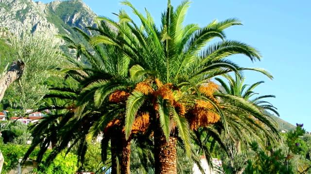 Palmera-datilera-en-Montenegro