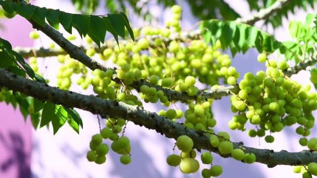 árbol-de-grosella-espinosa-estrella-móvil