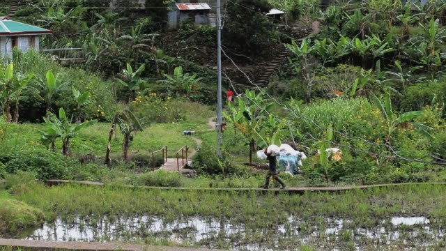 Farmer-working-on-Rice-fields-in-The-Philippines