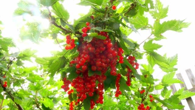 Rote-Johannisbeeren-im-Garten-Bush-Johannisbeer-Beeren-Eine-Reihe-von-roten-Johannisbeeren-auf-einem-Ast-
