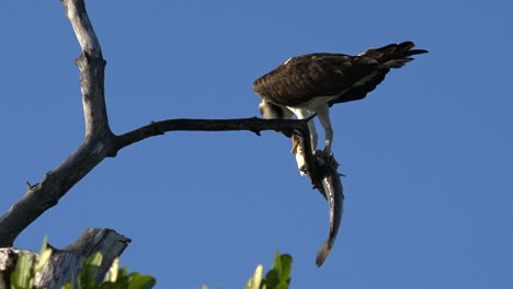 A-fish-eagle-devours-a-fish-in-a-tree-branch-in-Florida