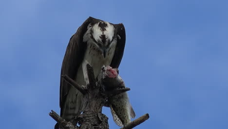 A-fish-eagle-devours-a-fish-in-a-tree-branch-in-Florida-1