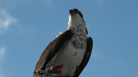 A-fish-eagle-devours-a-fish-in-a-tree-branch-in-Florida-2