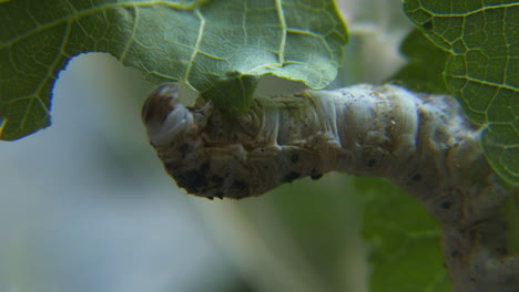 Close-up-of-a-silkworm-chewing-on-a-green-leaf-2