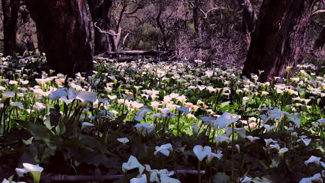 Hundreds-of-calia-lily-flowers-bloom-in-a-forest-in-Australia