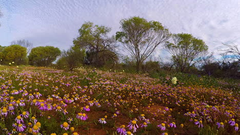 POV-walking-through-fields-of-wildflowers-in-Australia-in-spring-1