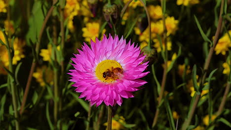 A-honey-bee-pollinates-a-purple-wildflower-