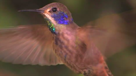 Slow-motion-shot-of-a-violetear-hummingbird-hovering-in-extreme-close-up