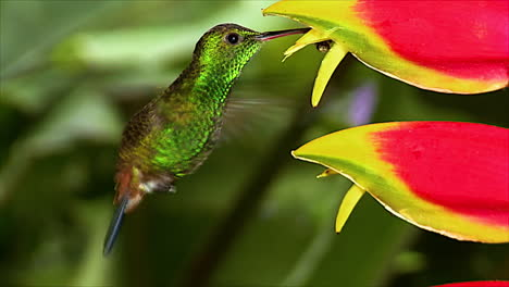 Extreme-close-up-of-a-copperrumped-hummingbird-heliconia-feeding-in-a-tropical-rianforest
