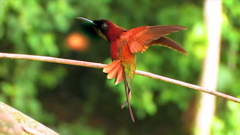 Close-up-of-a-crimson-topaz-gorget-hummingbird-displaying-wings-on-a-branch-in-the-rainforest