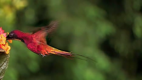 Extreme-close-up-of-a-crimson-topaz-gorget-hummingbird-hovering-in-slow-motion