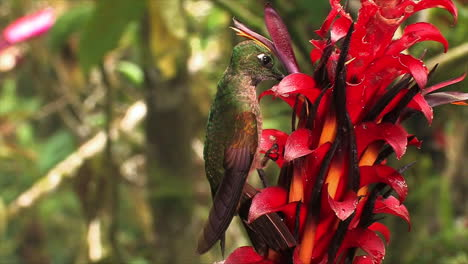 Extreme-close-up-of-a-hummingbird-clinging-to-tropical-vegetation-the-Australian-rainforest