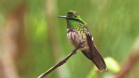 Close-up-of-a-Festive-Coquette-hummingbird-perched-on-a-branch-in-the-rainforest