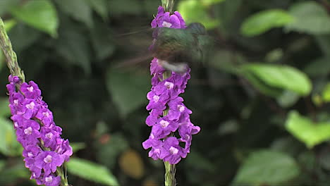 Slow-motion-shot-of-a-lesser-violetear-hummingbird-hovering-in-extreme-close-up-1