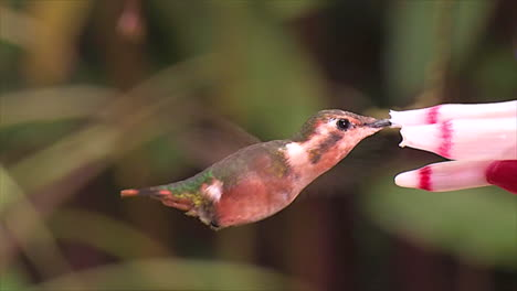 Extreme-close-up-slow-motion-shot-of-a-Little-Woodtsar-flor-tubular-hummingbird