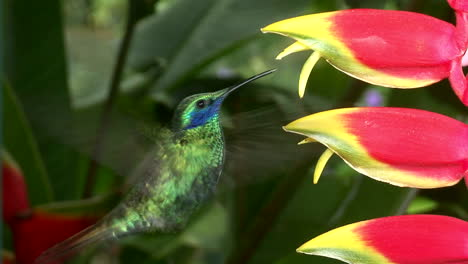 Slow-motion-shot-of-a-lesser-violetear-hummingbird-hovering-in-extreme-close-up-2