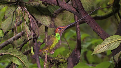 Close-up-in-slow-motion-of-swordbilled-hummingbird-in-the-rainforest
