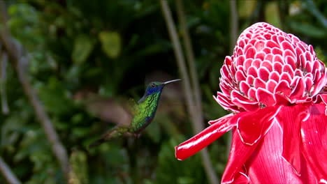 Slow-motion-shot-of-a-lesser-violetear-hummingbird-hovering-in-extreme-close-up-3
