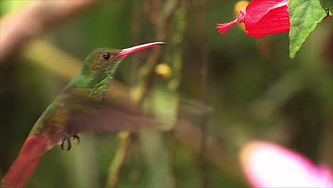 The-vivid-and-beautiful-white-whiskered-hermit-hummingbird-hovering-near-a-wildflower-in-the-rainforest