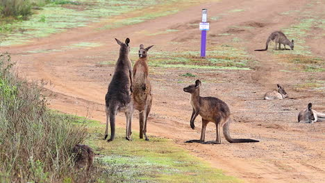 Kangaroos-engage-in-a-boxing-match-fighting-along-a-dirt-road-in-Australia