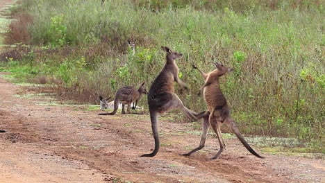 Kangaroos-engage-in-a-boxing-match-fighting-along-a-dirt-road-in-Australia-2