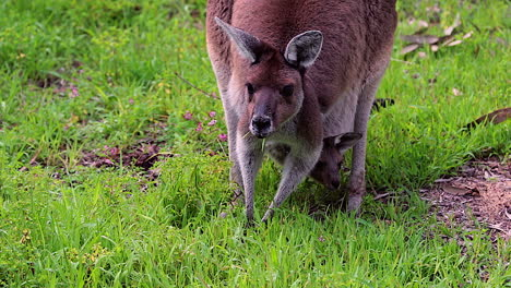 A-kangaroo-grazes-with-a-baby-in-its-pouch-Australia
