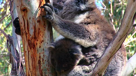 A-koala-bear-mother-and-baby-are-perched-in-a-eucalyptus-tree-in-Australia