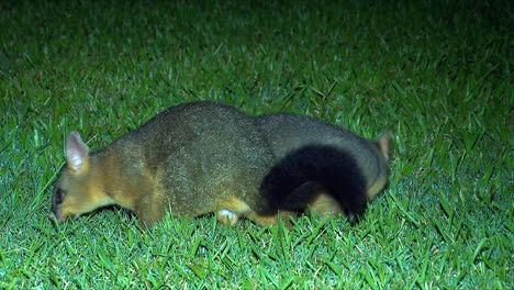 A-Brushtail-possum-wanders-on-the-grass-at-night-in-Australia