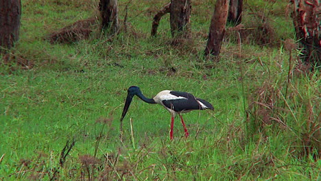 A-stork-wades-in-a-swamp-and-catches-a-live-snake-for-dinner