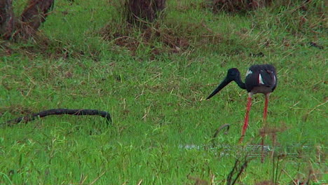 A-stork-wades-in-a-swamp-and-catches-a-live-snake-for-dinner-1