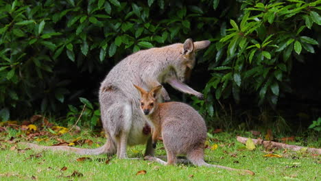 Good-footage-of-a-wallaby-kangaroo-mother-with-a-baby-in-pouch