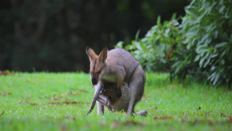 Good-footage-of-a-wallaby-kangaroo-mother-with-a-baby-in-pouch-2