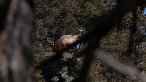 A-buck-deer-is-sighted-through-the-forest-from-the-perspective-of-a-hunter