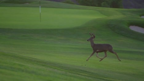 A-deer-runs-on-the-fairway-of-a-gold-course