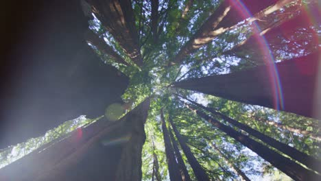 Low-angle-slow-spin-looking-up-at-tall-trees-in-a-forest