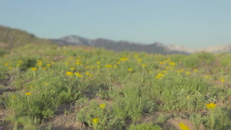 Moving-shot-along-green-grass-with-yellow-wildflowers-growing